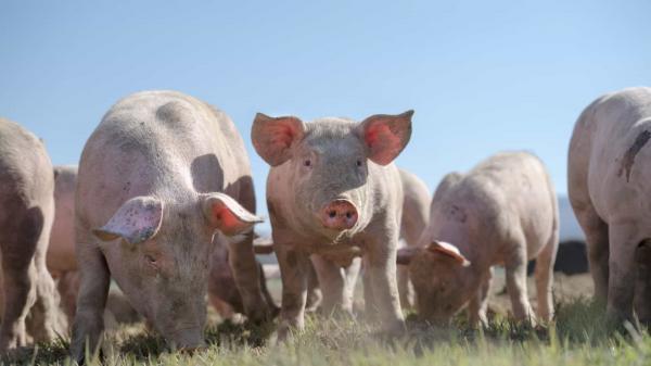 Agricultor foi comido pelos porcos